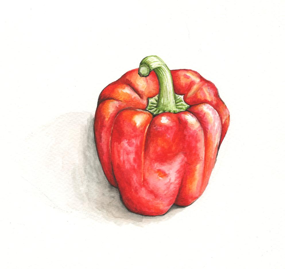 Red pepper illustration