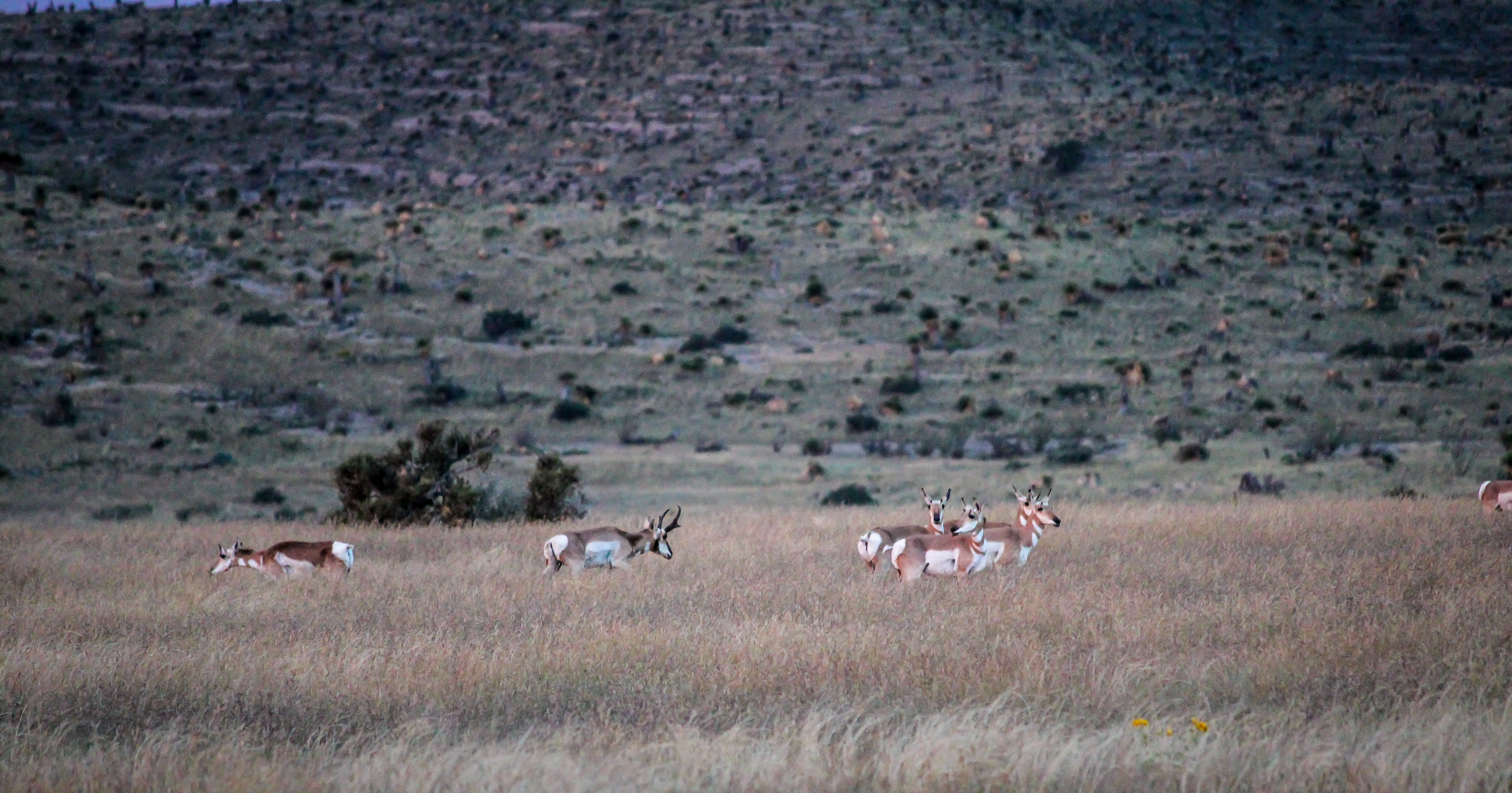 Trans Pecos Guide Service Pronghorn