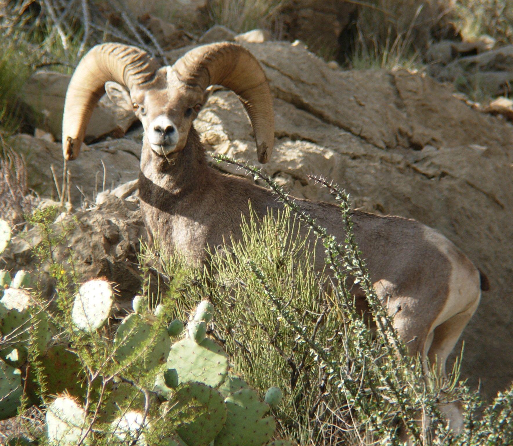 Texas Desert Bighorn; Trans Pecos
