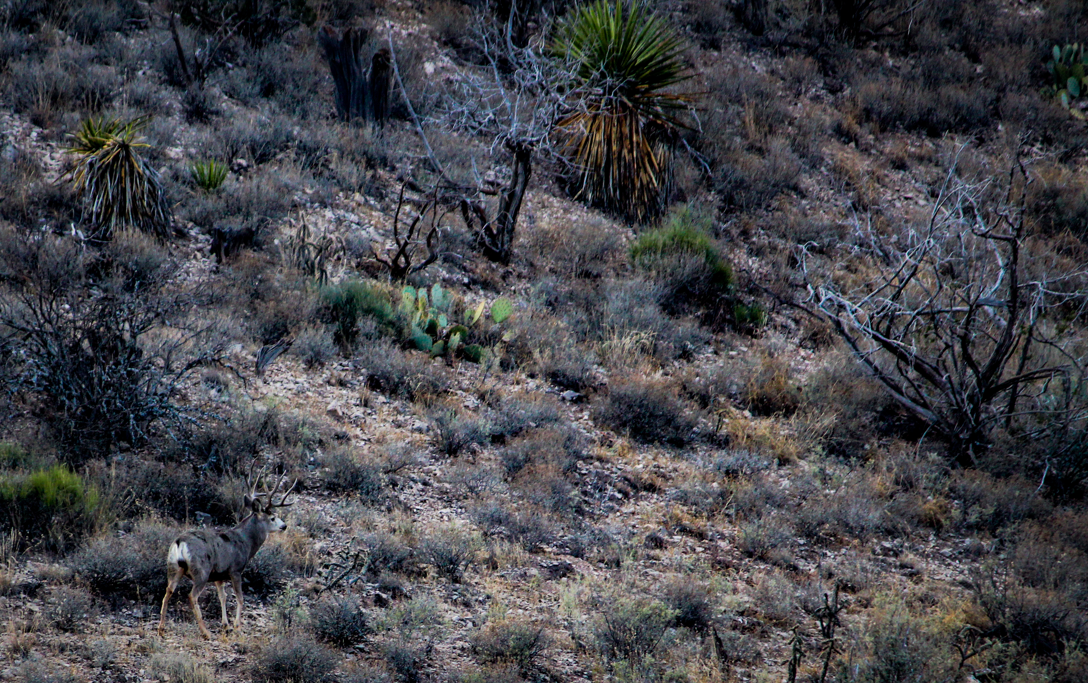 Trans Pecos Guide Service Mule Deer