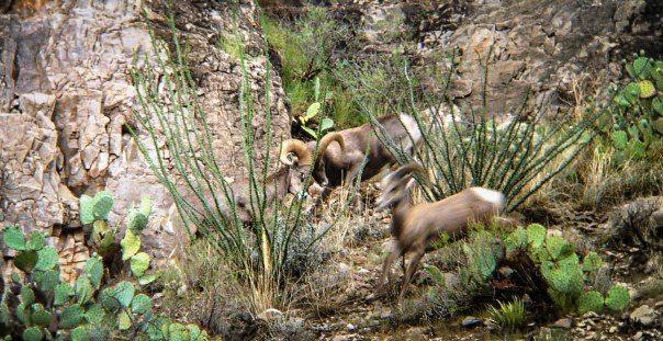 Texas Desert Bighorn Sheep