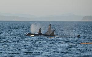 minke-whale-268242_1920.jpg