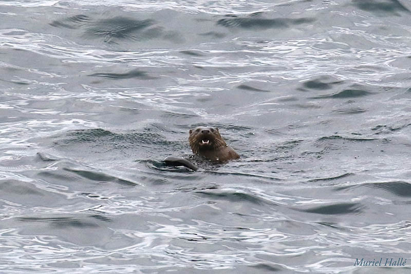otter in the sea