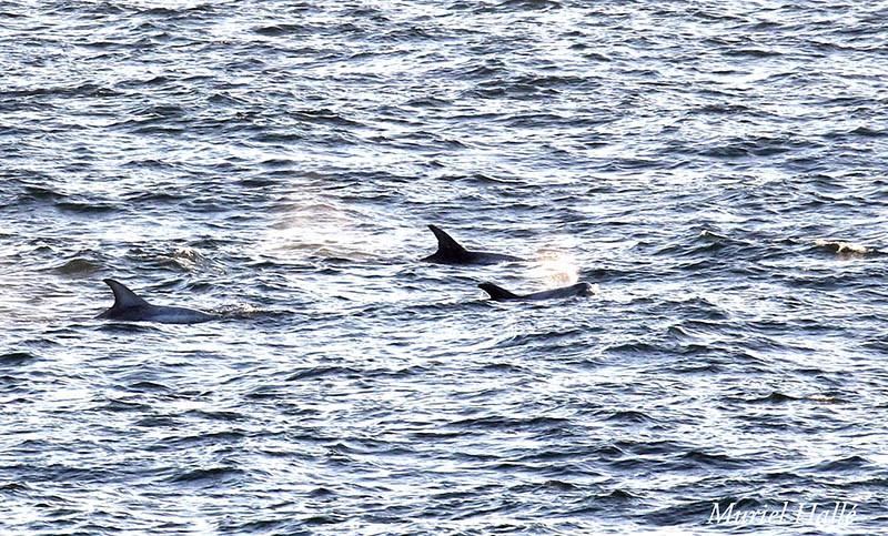 Risso's dolphin pod