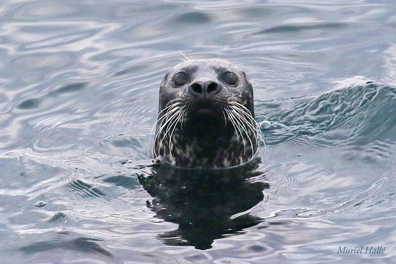 harbour seal aka common seal