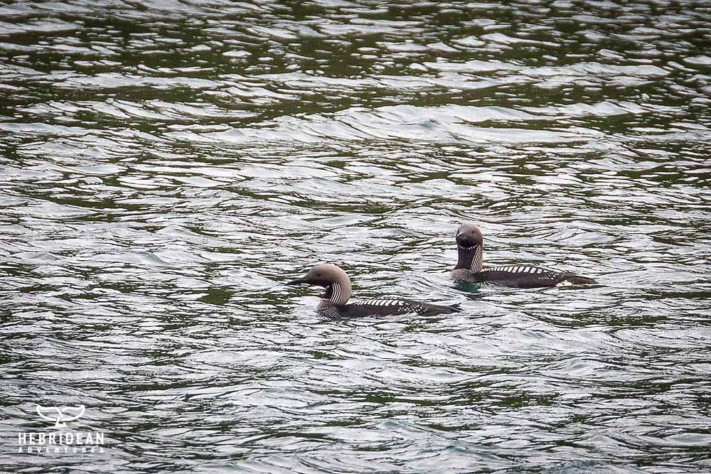 Black throated divers