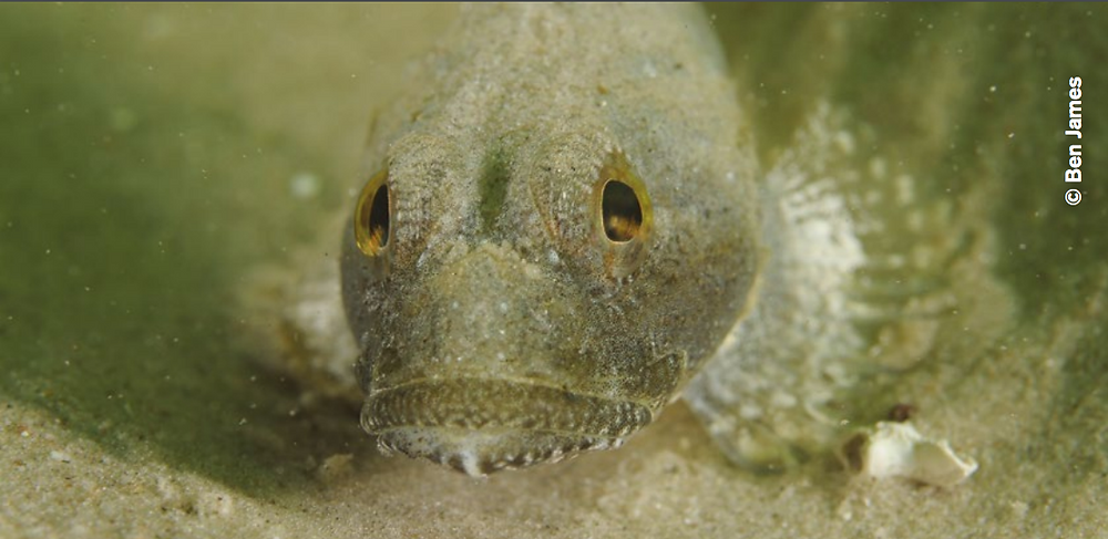 A short-spined sea scorpion scanning the sandy floor.