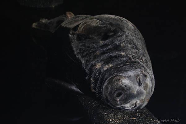 Grey seal sleeping