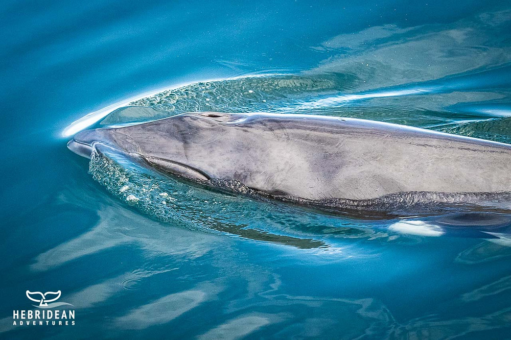 The front of a minke whale at the surface