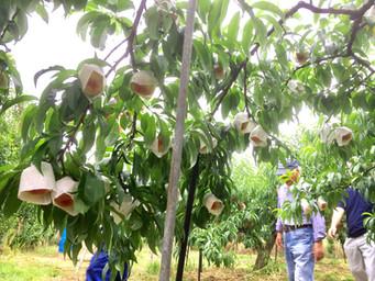 あら川の桃 収穫までもう少し