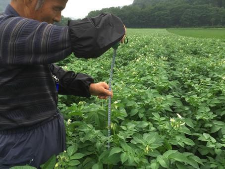 徒長抑制でジャガイモの生長を揃える