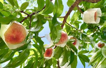 特栽あら川の桃と土作り