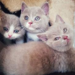 Lancelot in Love Catito, Colin, Calvin