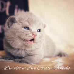 Lancelot in Love Chester