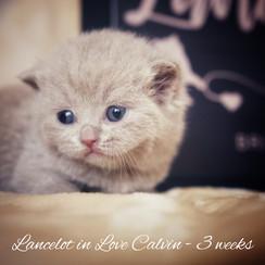 Lancelot in Love Calvin