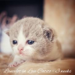 Lancelot in Love Catito