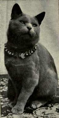 Blue_Shorthair_cat_English_type.jpg