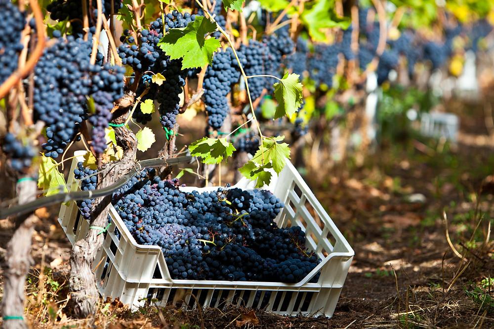 Il Fumin è un vitigno molto sensibile alle variazioni del microclima