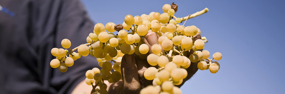 Malvasia e Corinto nero sono le uve con cui si produce la Malvasia delle Lipari