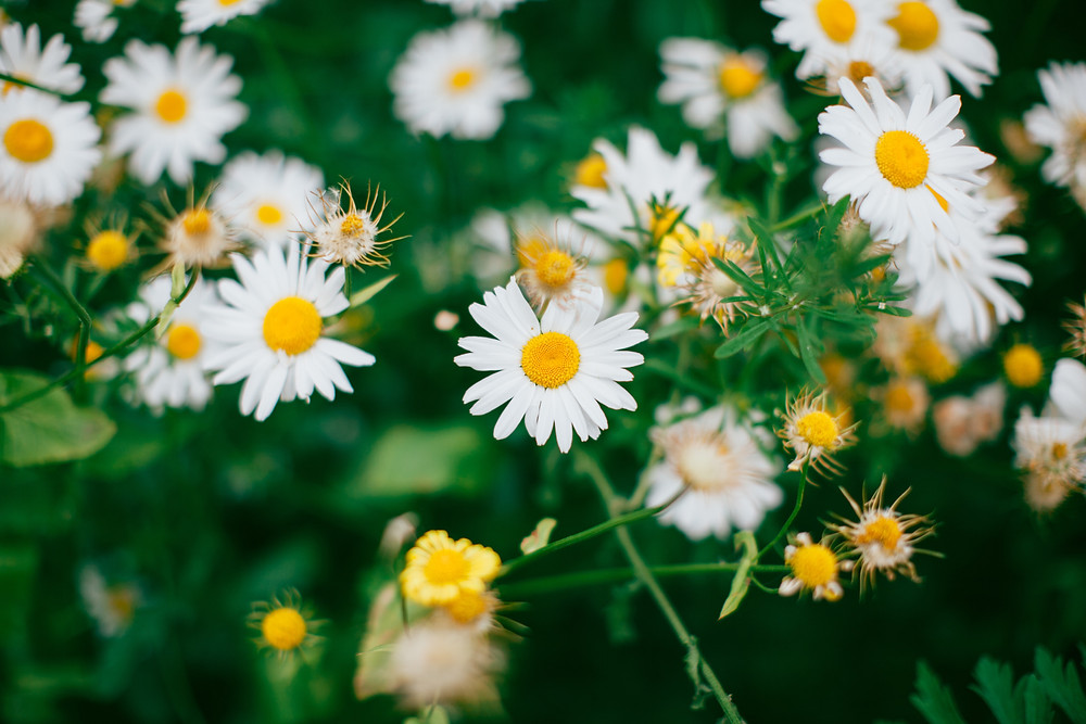 camomilla e erbe aromatiche sono profumi del verdicchio