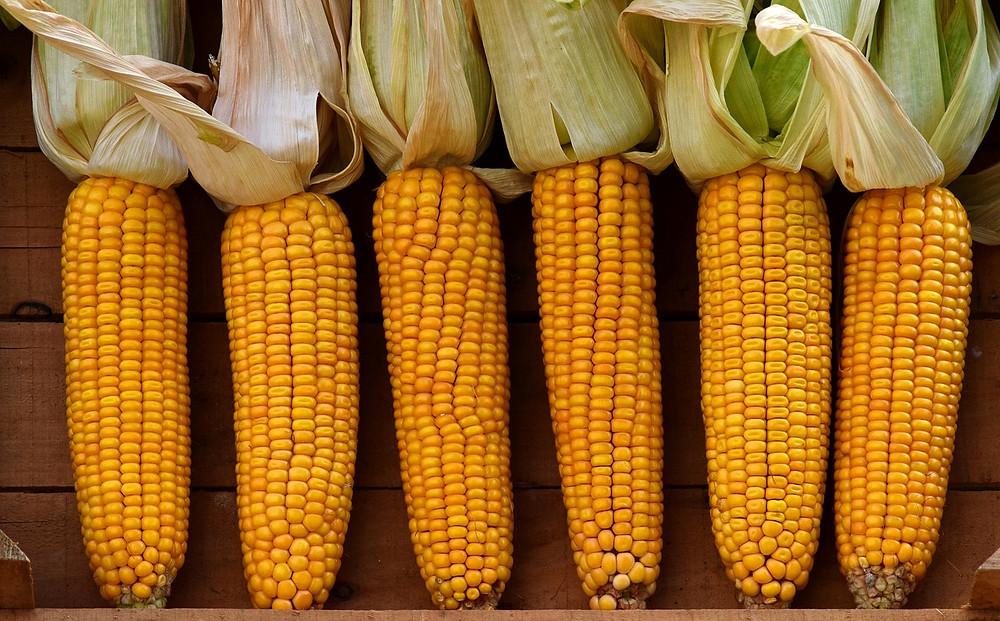 l'America era ricca di un cereale autoctono, ricco di amidi e perciò adatto alla fermentazione, il mais