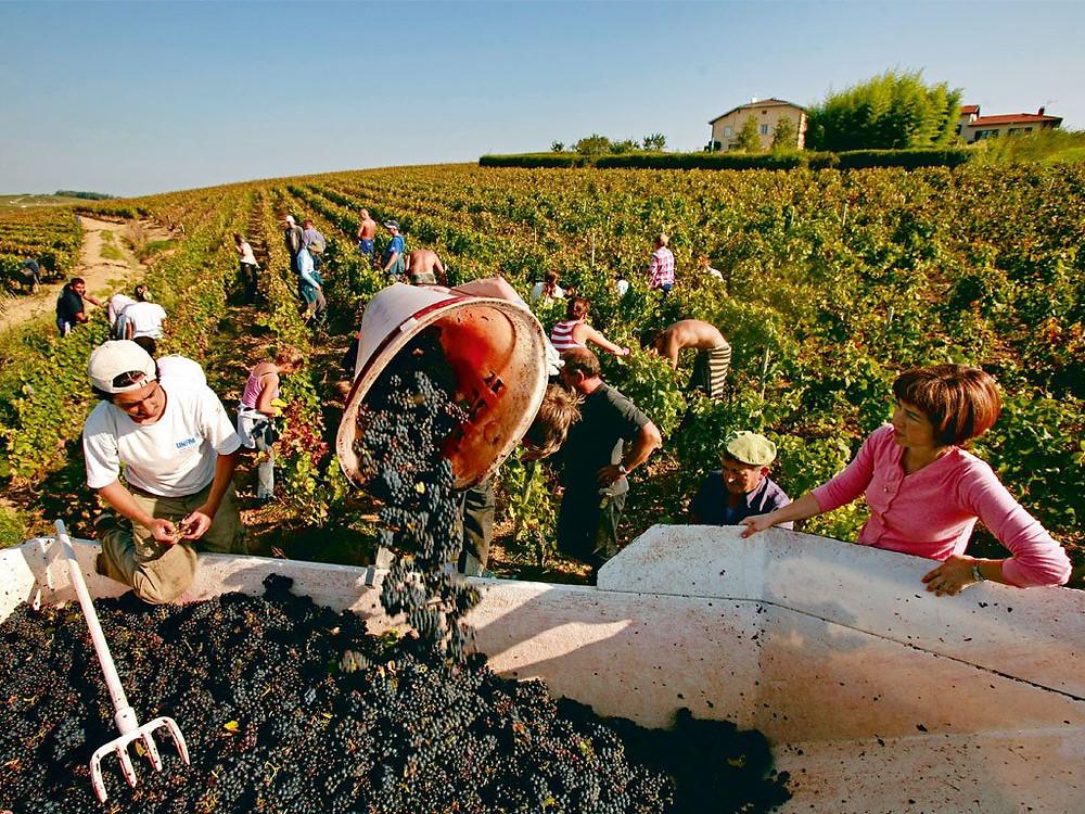 il vino novello è  ottenuto con una nuova modalità di vinificazione: la macerazione carbonica.