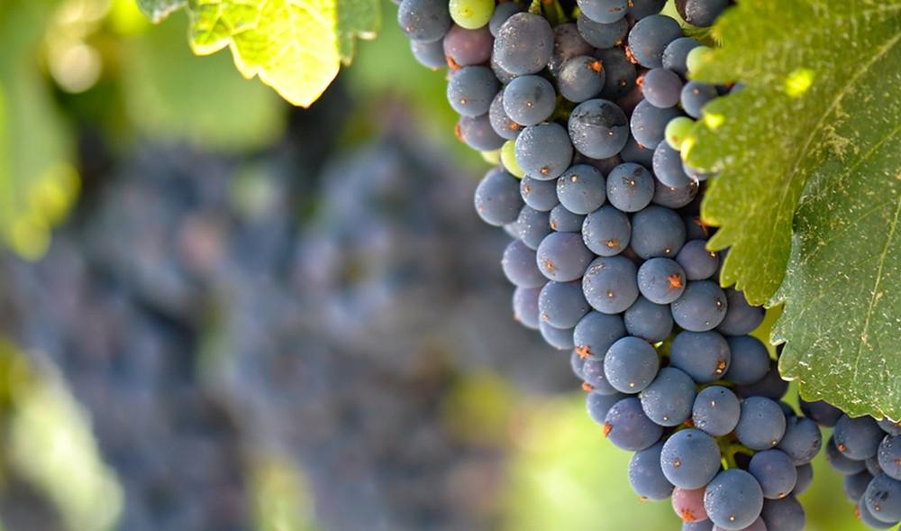 13 sono i vitigni usati per produrre lo Chateauneuf-du-pape