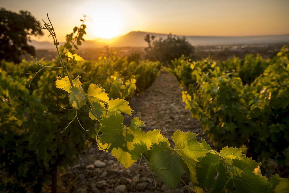 uno dei comparti vitivinicoli più eterogenei di Francia: i suoli sono caratterizzate dalle tipiche galets roulés
