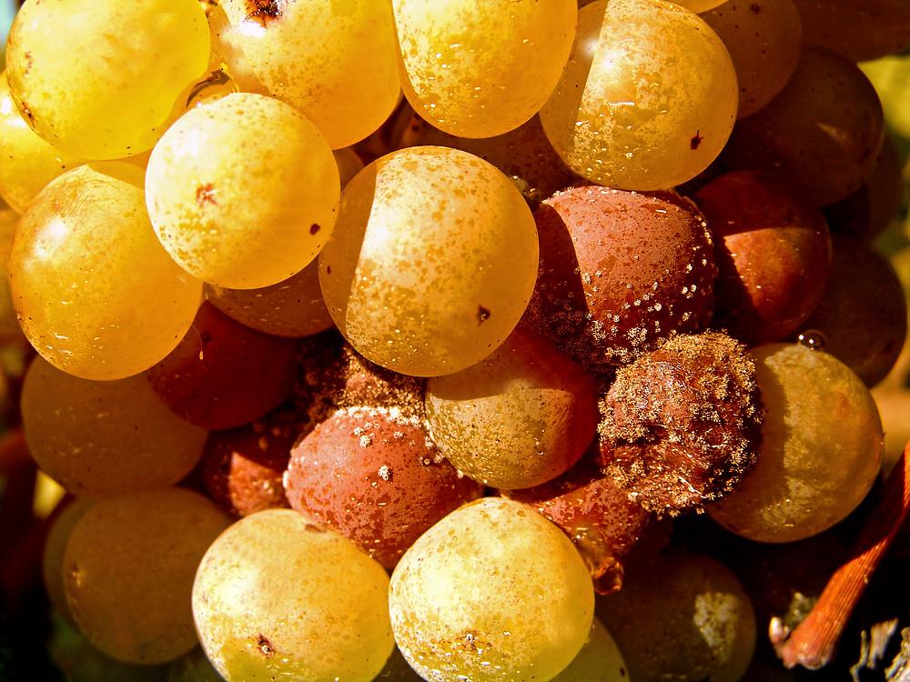 Cos'è il Sauternes: uno dei più grandi vini dolci al mondo