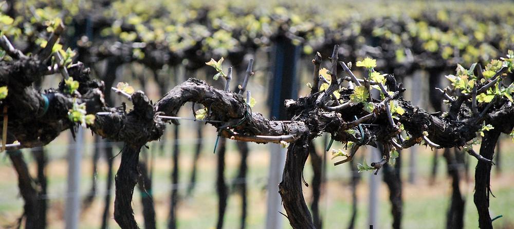 L'uva con cui si produce il Prosecco è la glera