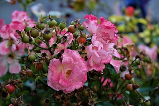 La rosa canina e i profumi che ritroviamo nel Vermentino nero