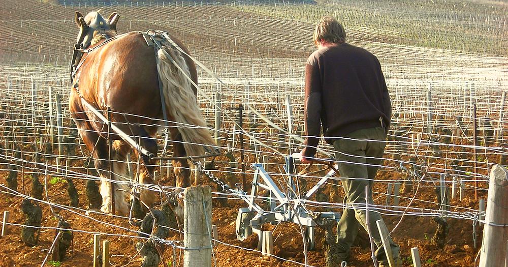 il vignaiolo biodinamico ara la vigna con i cavalli