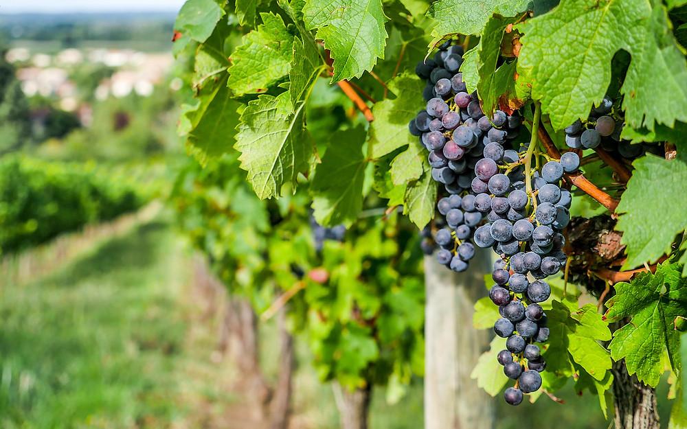 Il Valpolicella Ripasso è fatto con le migliori uve di corvina, corvinone ed altre varietà autoctone come rondinella, molinara, dindarella, oseleta
