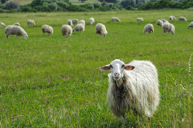 Il caciofiore è prodotto nell'agro romano con latte di pecora