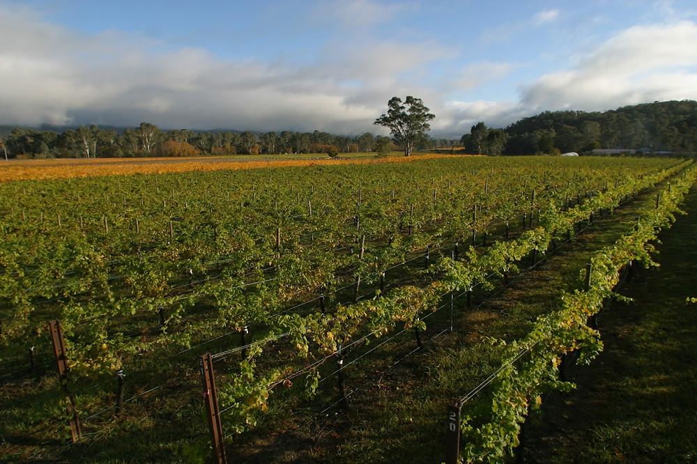 vigne di Prosecco in Australia