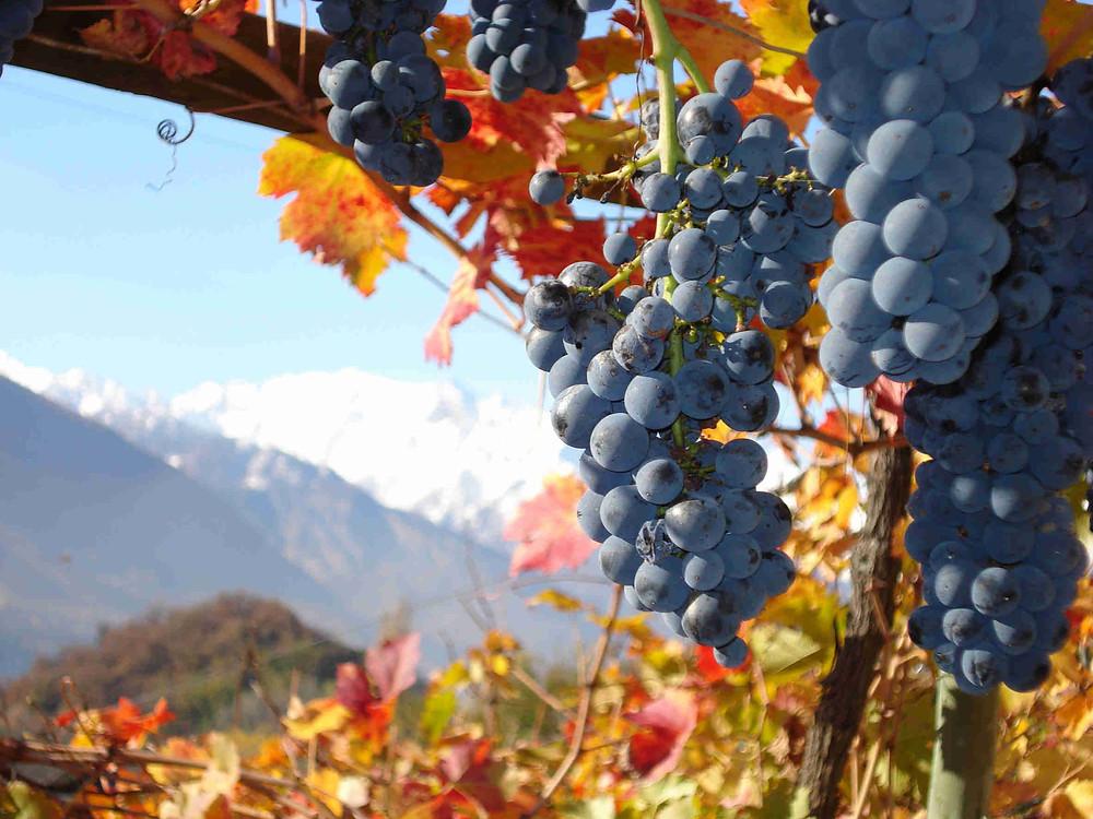 grappolo di fumin vitigno autoctono della Val d'aosta