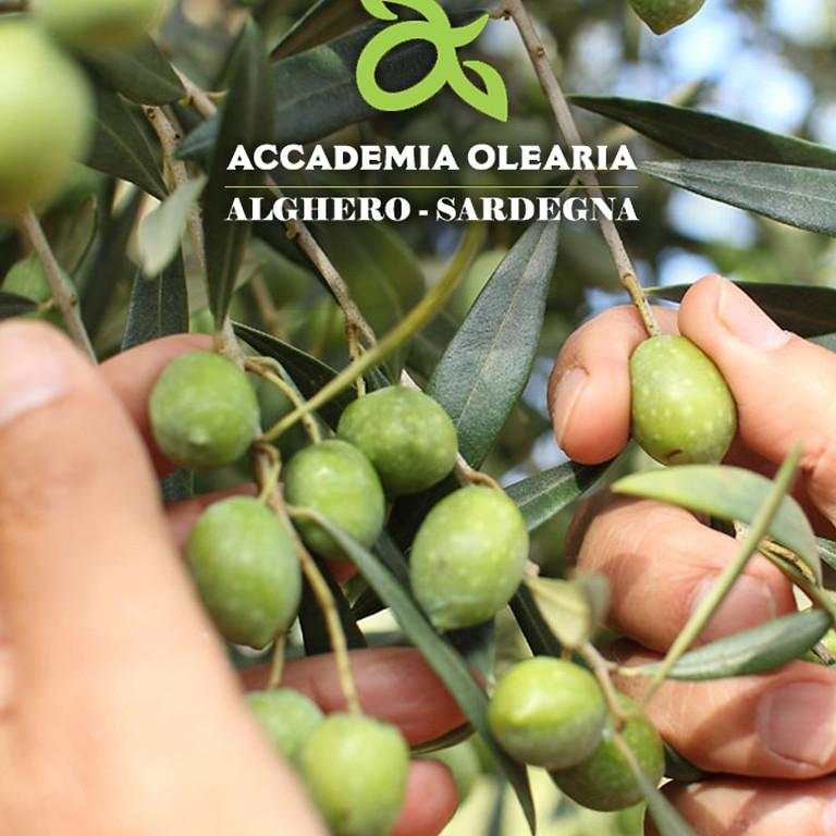 Oro Mediterraneo: gli Olivi di Alghero