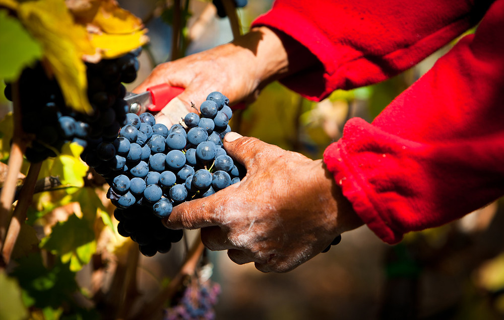 I vini a base Fumin si caratterizzano per i loro colori intensi e compatti