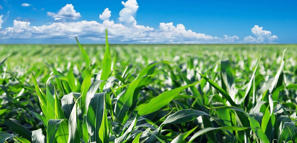 Nel 1775 il raccolto del mais fu talmente eccezionale che le eccedenze furono utilizzate per la prima volta per la produzione di un whiskey.