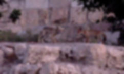 renards au Kottel.jpg