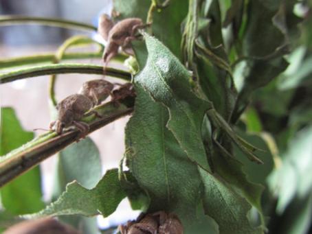La lucha biológica, la mejor baza contra la plaga del eucalipto