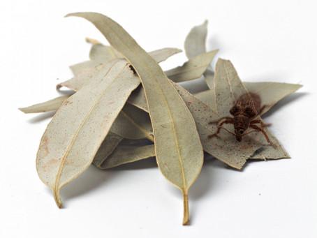 ENCE pide avances en la gestión del eucalipto una vez declarado especie no invasora