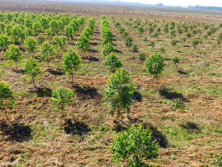 Un estudio de la UHU demuestra que la gestión de ENCE en sus eucaliptales mejora el suelo forestal