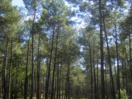 El cambio climático amenaza al pino