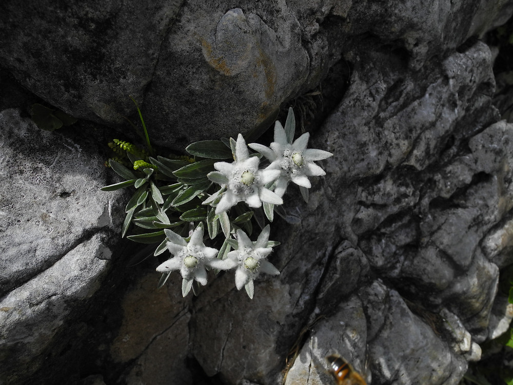 stelle alpine delle dolomiti a santa fosca, selva di cadore