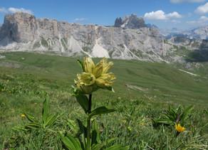 I fiori delle Dolomiti. Da Selva di Cadore, Val Fiorentina, al Passo Giau e Mondeval per ammirarla !