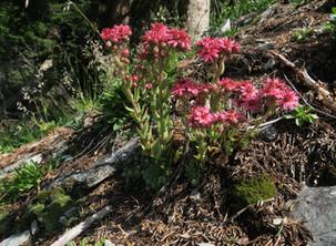 I fiori di Selva di Cadore: le piante grasse delle Dolomiti. Nei pressi della Malga Pian de Vacia.