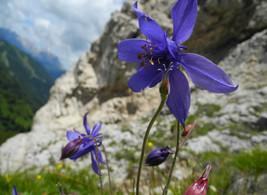 L'Aquilegia Einseleana. I fiori della Val Fiorentina. Piccoli gioielli delle Dolomiti.