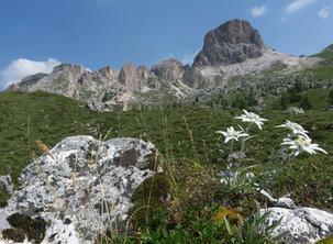 I Fiori di montagna. Dalla Val Fiorentina, Selva di Cadore all'Averau e SettSass. La Stella Alpina.