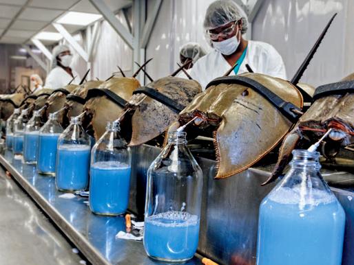 Horseshoe crabs; the backbone of the biotech industry